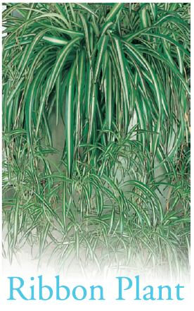 Basket Chlorophytum Common Name Spider Plant 250mm Pot