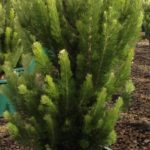 Adenanthos Sericea (Common Name – Albany Woolly Bush) 305mm Pot