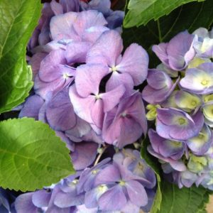 Blue Mauve Hydrangea