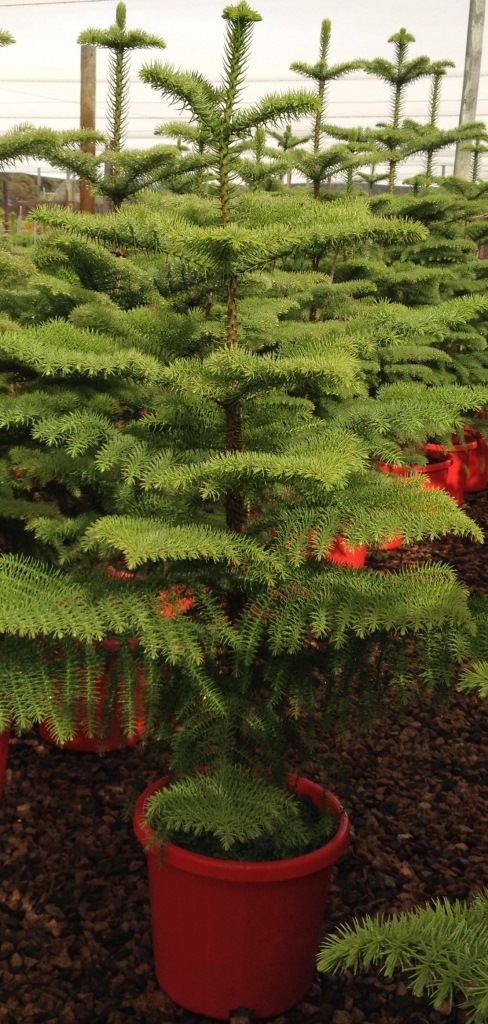 Araucaria Heterophylla Common Name Norfolk Island Pine
