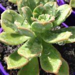Aeonium haworthi x urbicum