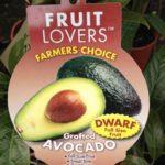 Avocado Wurtz Dwarf
