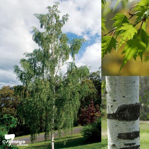 betula pendula darlecarlica common name cut leaf birch 400mm pot dawsons garden world. Black Bedroom Furniture Sets. Home Design Ideas