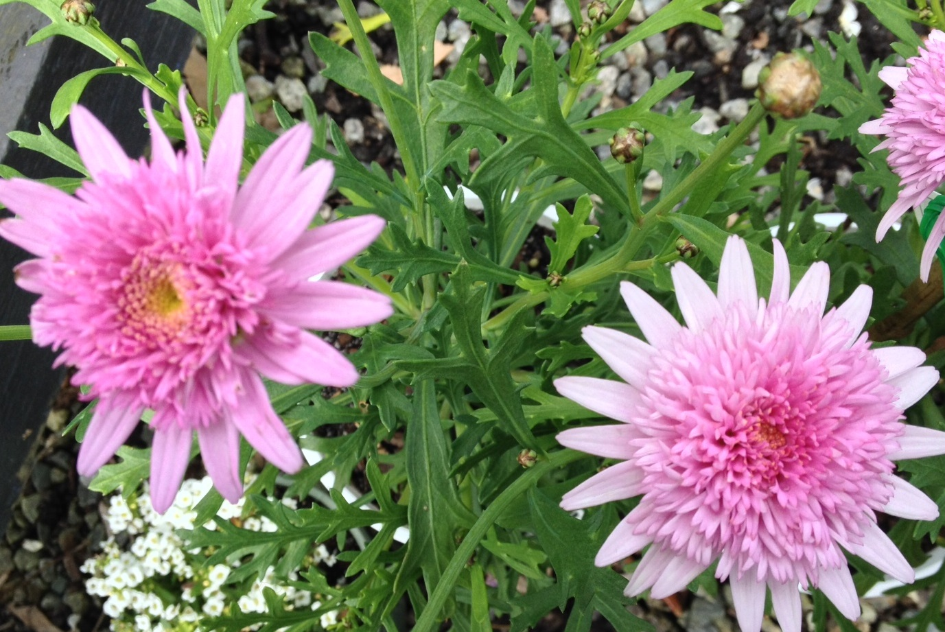 Chrysanthemum Double Pink Common Name Marguerite Or Paris Daisy