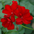 pelargonium_royal_red_ closeupl[1]