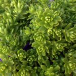 sedum new green
