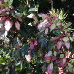 Hibiscus Cooperi Rosea