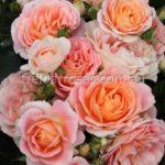 Peach-Profusion_8338WM[1]