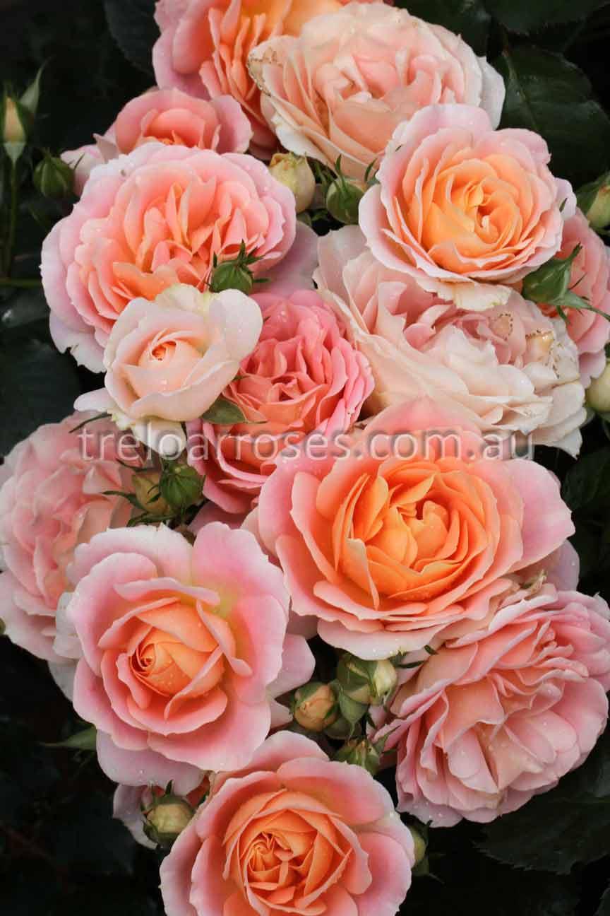 Hedging rose (Floribunda) Peach Profusion 175mm Pot ...