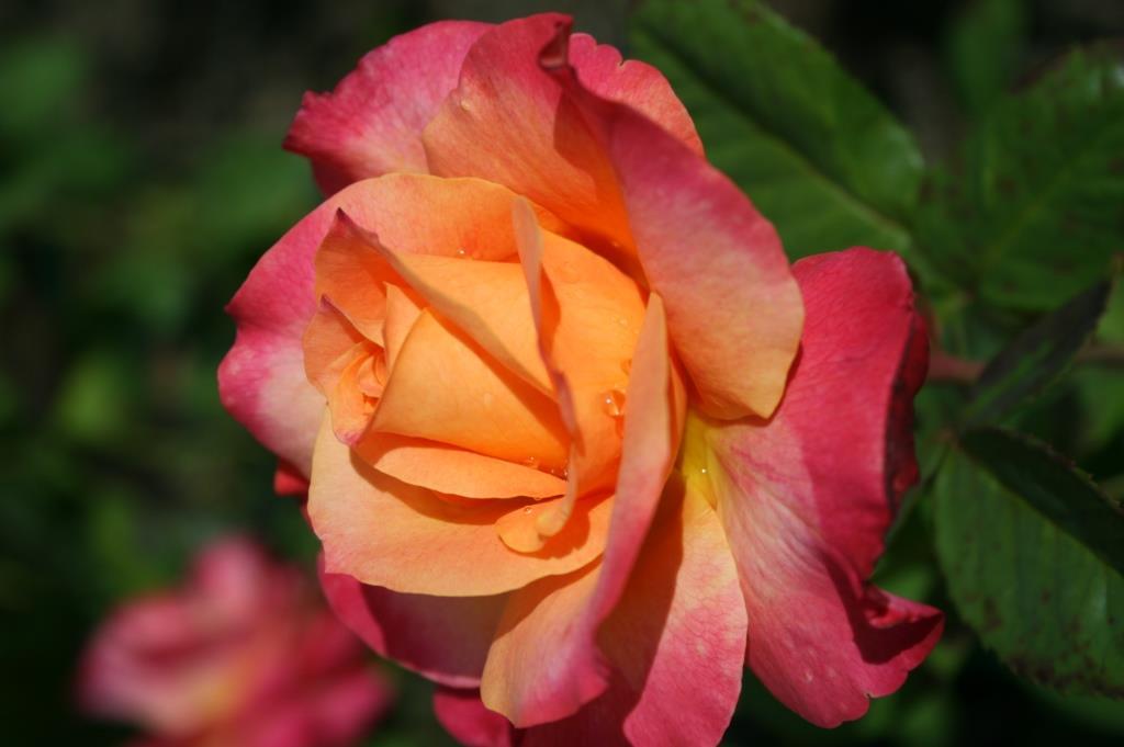 bi colour multi colour roses product categories dawsons garden world