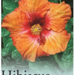 hibiscus hot pepper