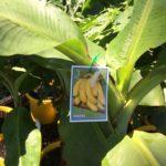 Banana William
