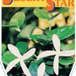 Carissa Desert Star