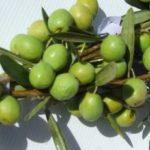 Olive Manzanillo