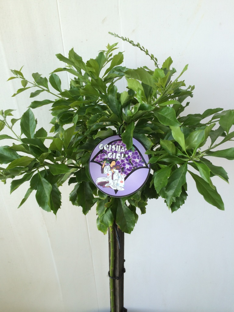 Standard Duranta Geisha Girl 250mm Pot Dawsons Garden World