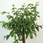 Standard Ficus Short Top