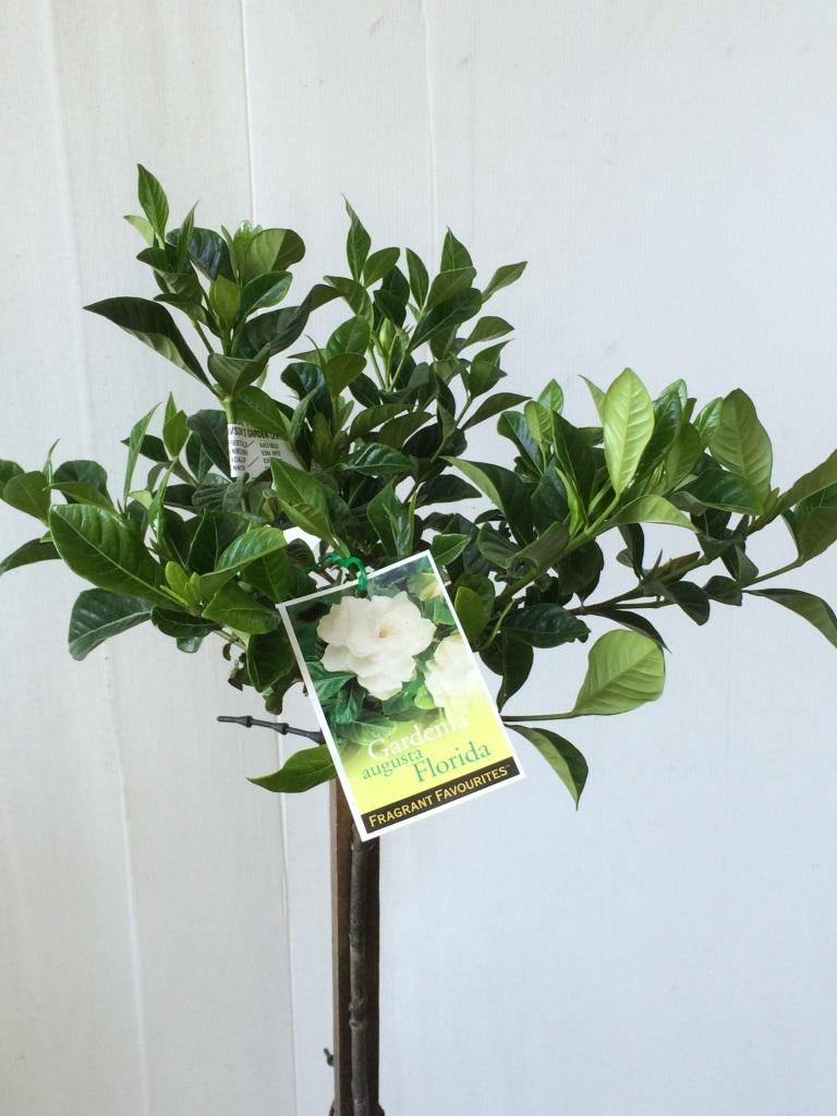Standard Gardenia ...