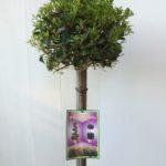 Standard Syzygium Bush Christmas Top