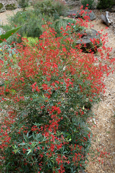 Christmas Bush In Pots.Ceratopetalum Johanna S Christmas Common Name Nsw Christmas Bush 150mm Pot