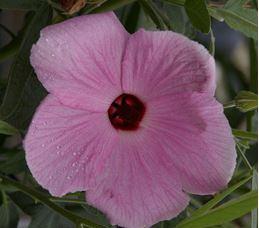 Hibiscus Aussie Pink