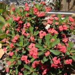 Euphorbia Milii Milii Pandora (Common name Crown of Thorns) 150mm Pot