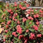 Euphorbia Milii Milii Pandora (Common name Crown of Thorns) 150mm Pot