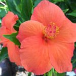 hibiscus ritzy