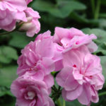 pelargonium royal lavender