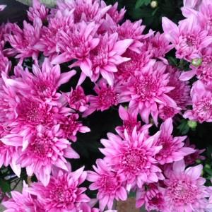 Chrysanthemum (Common Name – Florists Chrysanthemum) 150mm Pot
