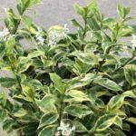 trachelospermum sunlover