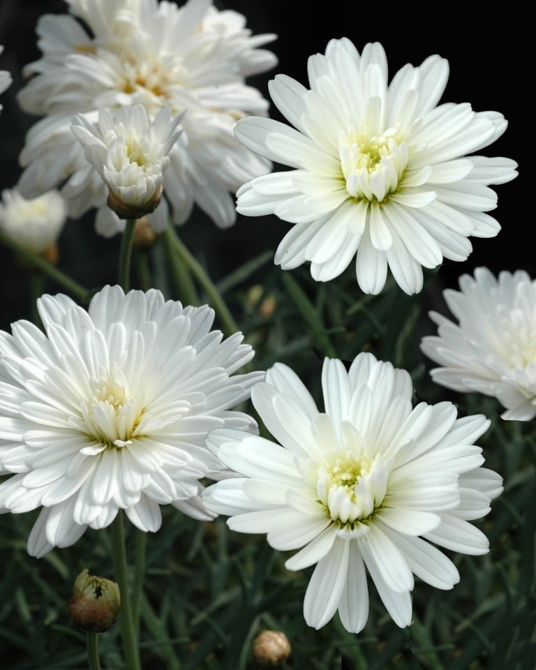Argyranthemum Super Duper Common Name Federation Daisy