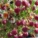 Boronia Heaven Scent