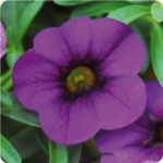 Calibrachoa-min-fam-sing-purple-Copy