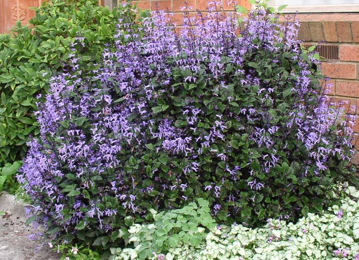 Plectranthus Mona Lavender 140mm Pot Dawsons Garden World
