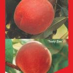 Peach Double Grafted Tasty Zee / Double Jewel 255mm Pot