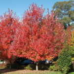 Acer October Glory