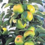 Apple Bolero