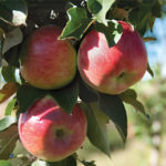 Apple Dita