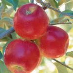 Apple Pixie Crunch
