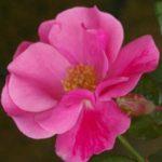 Encore Rose