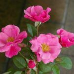 Encore_Rose
