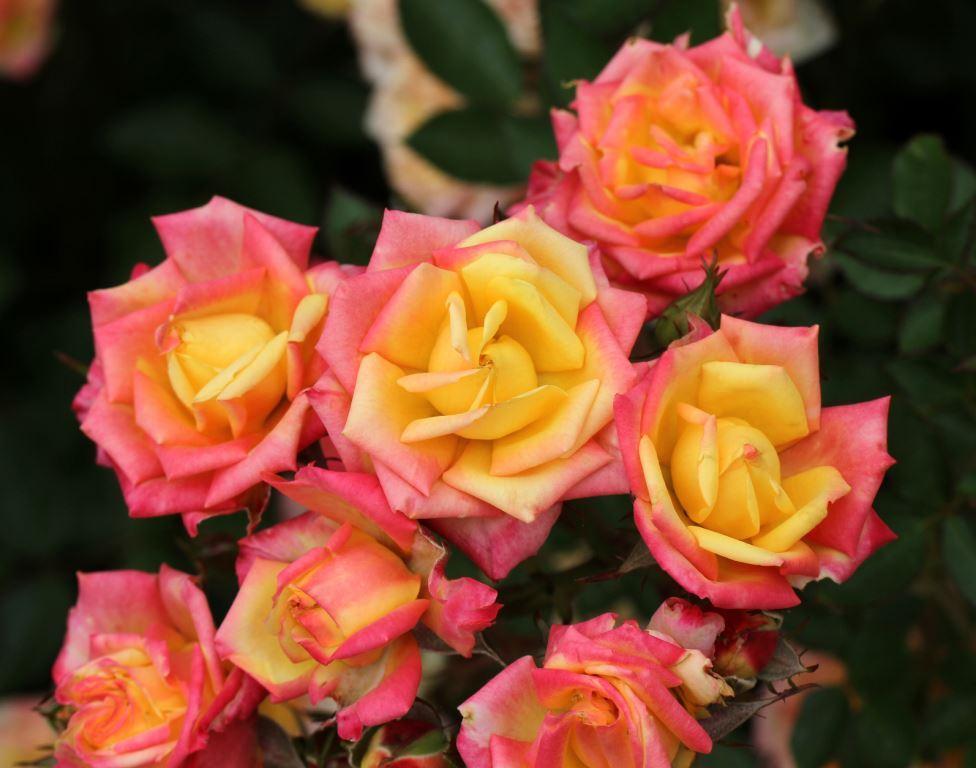 Miniature Rose Little Sunset 175mm Pot Dawsons Garden World