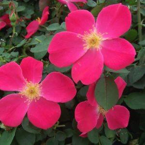 Pink-Homerun-Rose