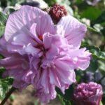Hibiscus Syriacus Ardens