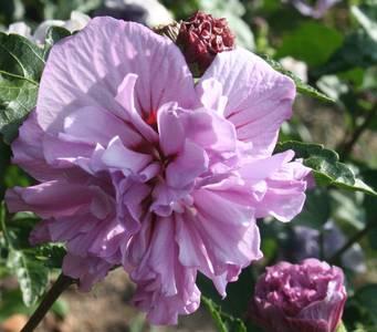 Hibiscus Syriacus Ardens Common Name Deciduous Hibiscus 200mm