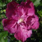 Hibiscus Syriacus rosalinda