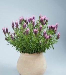 Lavender Laveanna Pink