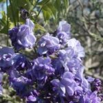 Wisteria Violacea Plena close up