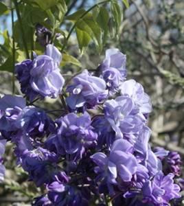 Wisteria Violacea Plena close up