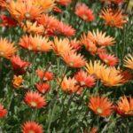 arctotis orange